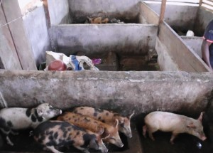 Community Pig Farm-Green Cameroon