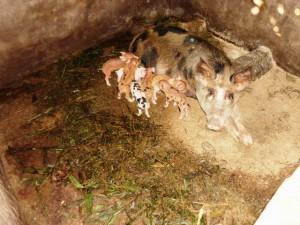 Green Cameroon, Community Pig Farm 2