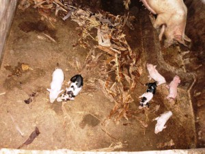 Community pig Farm.Green Cameroon